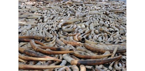 Criminalité faunique au Sénégal : 3 trafiquants d'ivoire condamnés à 3 mois de prison ferme