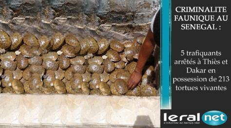 Criminalité faunique au Sénégal : 5 trafiquants arrêtés à Thiès et Dakar en possession de 213 tortues vivantes