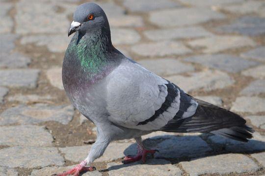 Condamnés pour avoir massacré des pigeons