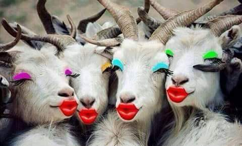 Des chèvres en mode maquillage, de qui se moque-t-on?