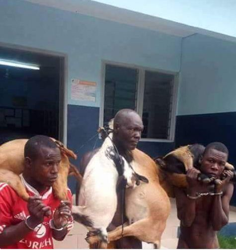 Ce n'est pas facile  de voler des chèvres!!!