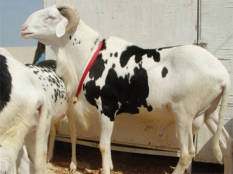 Ma Ibra Ndiaye refuse de vendre son mouton ladoum à 52 millions de F Cfa