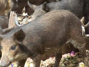 L'Égypte annonce l'abattage de tous les porcs du pays