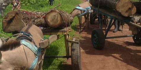 Coupe illégale de bois en Casamance: 44 charrettes, 9 ânes saisis et 5 délinquants arrêtés