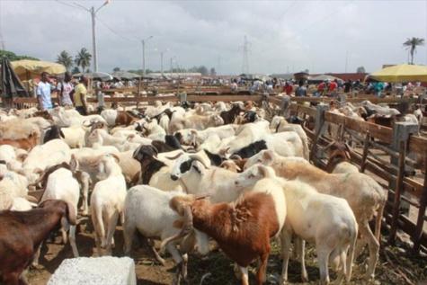 Tabaski : 468 000 moutons dont près de 325 00 importés, présents sur le marché (Dg de l'Elevage)