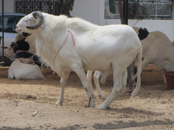 Cherté du mouton : L'Uncs pour la réactivation de la loi contre les comportements ostentatoires