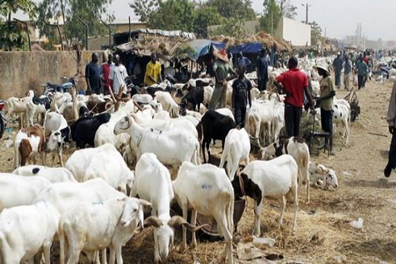 Surplus de moutons : près de 40 mille têtes invendues