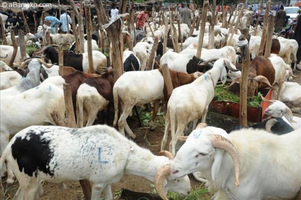 Mévente de Moutons – Des vendeurs pleurent sur leur sort