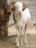 TABASKI: Il est permis de s'endetter pour avoir un mouton, à condition de payer sans problème
