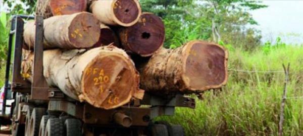 Casamance : La Gambie mise à contribution dans le trafic de bois
