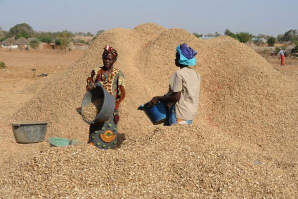 Campagne arachidière, plus de 90.180 tonnes en graines d'arachide collectées