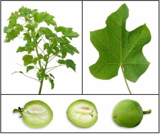 Le Jatropha curcas ou « Tabanaani » : Une plante utile pour son biocarburant, son engrais et ses vertus médicinales !
