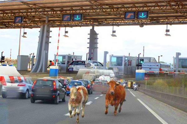 Accidents sur l'autoroute à péage : des éleveurs arrêtés et déférés au parquet, 11 veaux saisis