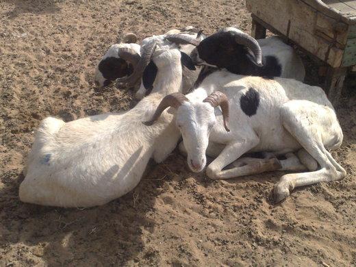 Reportage-Tabaski : Les vendeurs de moutons plus préoccupés par la cherté du prix du transport que par la TVA levée de 18%