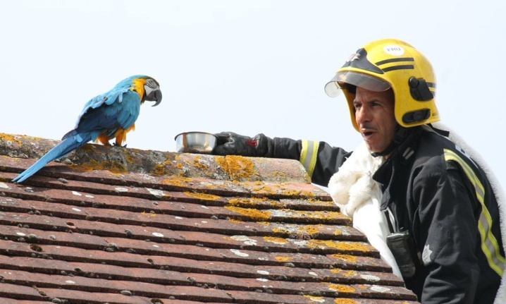 """Quand un perroquet coincé sur un toit depuis trois jours dit au pompier qui essaye de le sauver, """"d'aller se faire foutre"""""""