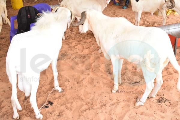Elevage de moutons à Dakar: une activité lucrative malgré la cherté de l'aliment de bétail et l'insécurité