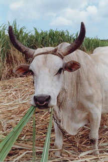 Tabaski – Mbour: pénurie de moutons: Ils se cotisent pour acheter des boeufs