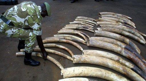 Trafic d'ivoire: 15 personnes arrêtées, 105 kg d'ivoire saisis au Gabon dont des Sénégalais