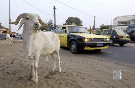 THIES: Un enseignant se fait voler son mouton de baptême