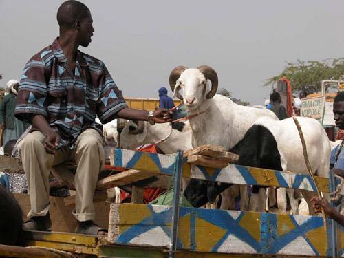 Aïd el-Kebir : une télé-réalité sénégalaise à la recherche du meilleur mouton