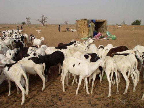 Tabaski - 712000 moutons pour approvisionner le marché