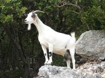 Incroyable: Un homme surpris en train de s'accoupler avec une chèvre