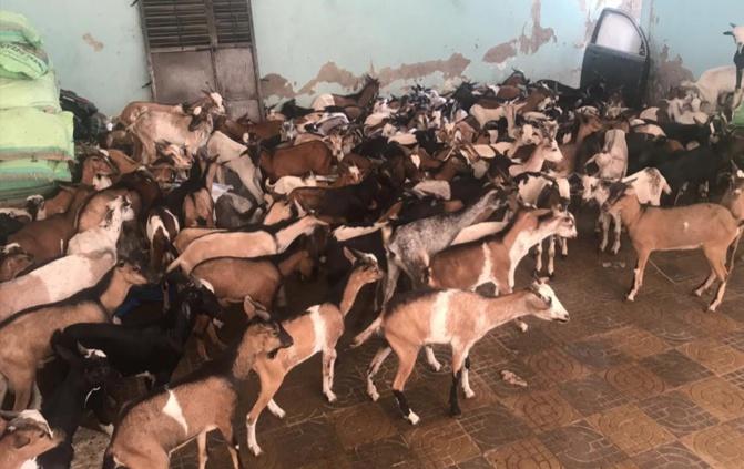 Moutons, chèvres, boeufs : Cheikh Mahy Cissé à la rescousse des nécessiteux