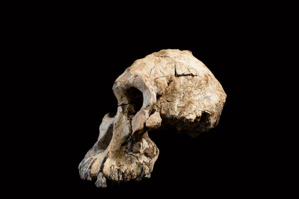 Le plus vieux crâne fossile d'australopithèque a été découvert en Éthiopie
