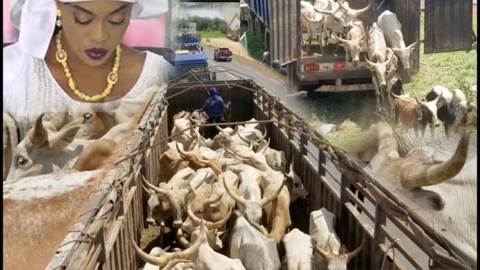 Célébration du Gamou 2019: Sokhna Aida Diallo convoie 5 camions de bœufs à Médinatoul Salam