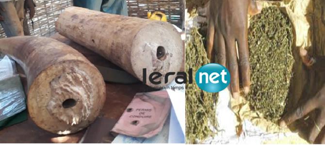 DOUANE - Saisies de deux défenses d'éléphant à Kédougou et de 66 kg de chanvre indien à Kolda