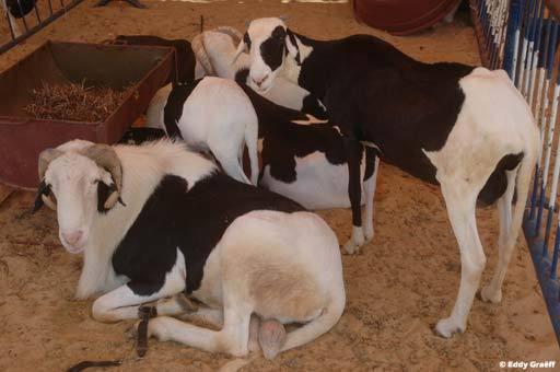 Tabaski 2012: Vers une pénurie de moutons ?