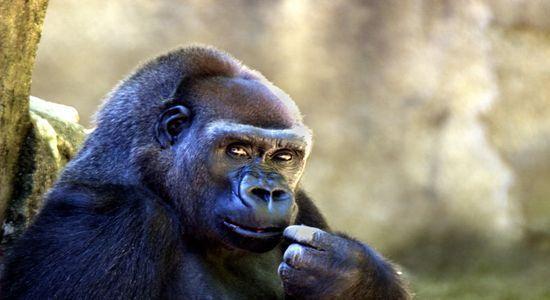 Exclusif : Six couples de gorilles à 30 millions de F CFA : L'ex-PM Souleymane Ndéné décroche la palme de l'insolence