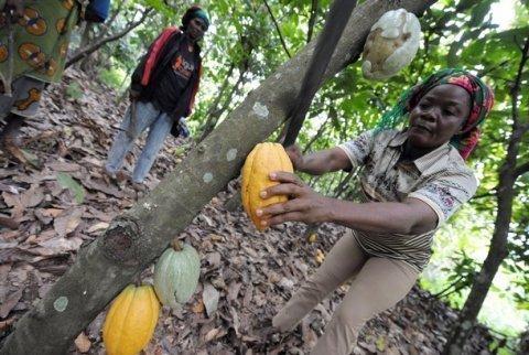 La culture du cacao en danger de mort ? Les chercheurs inquiets