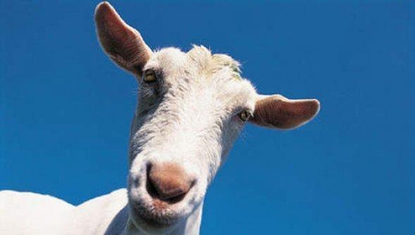 Un enfant de deux ans élevé par des chèvres