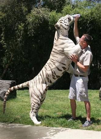 Afrique du Sud - Vis ma vie avec un tigre du Bengale (VIDEO)