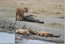 Faute d'espace vital : Des lions vagabonds en pleine capitale kenyane