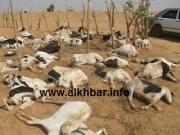 Hodh El-Charghi: 600 têtes de caprins déclarées mortes suite aux pluies