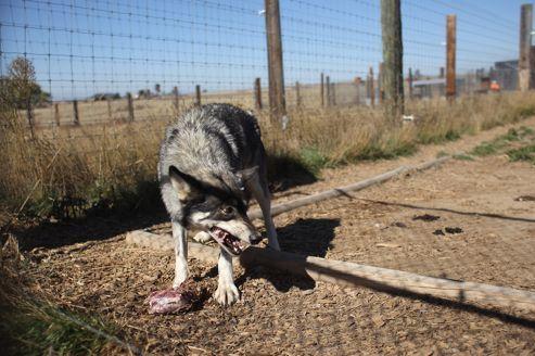 En Louisiane, des loups formés pour garder une prison d'État