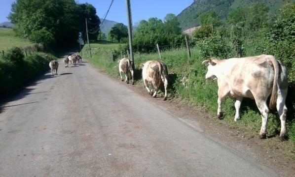 VIDEO – Saint Louis : Un camion fou tue plusieurs vaches, les bergers menacent de décapiter les chauffards