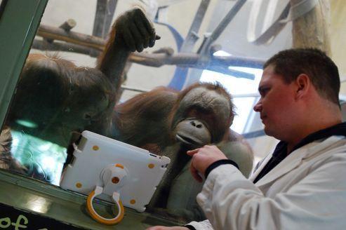 À Toronto, les orangs-outans sont devenus accros à l'iPad