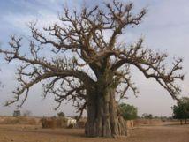[Vidéo] Rufisque: L'effondrement d'un baobab fait des blessés