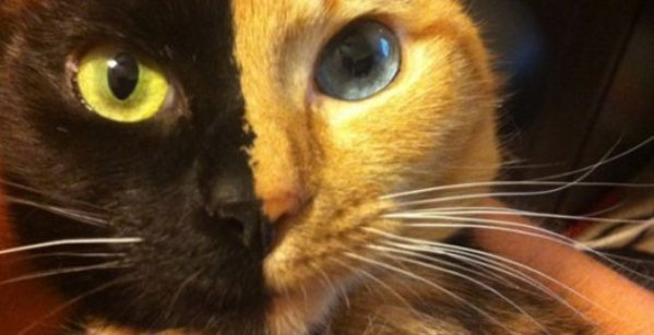 Venus, alias « double-face », le chat qui fait le tour du web!