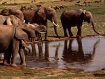 Bientôt plus d'éléphants au Burkina Faso?
