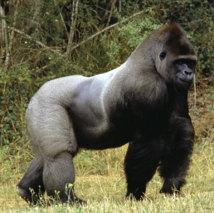 RDC - Les gorilles font aussi les frais des tensions au Nord-Kivu