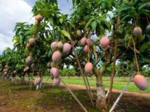 La filière mangue menacée par les maladies phytosanitaires