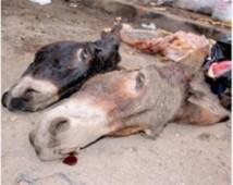 Pikine : arrestation d'un boucher qui vendait de la viande d'âne
