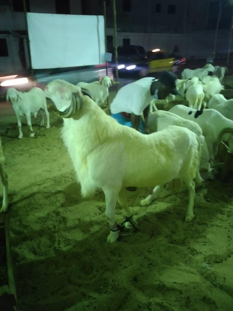 A vendre ce mouton de race +221 77 012 07 07