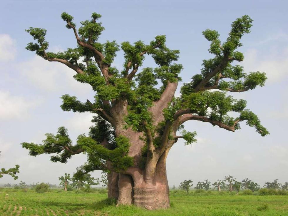 Journée de l'arbre - Macky Sall attend les 10.000 recrues et met en jeu un Grand prix pour le Reboisement et la...