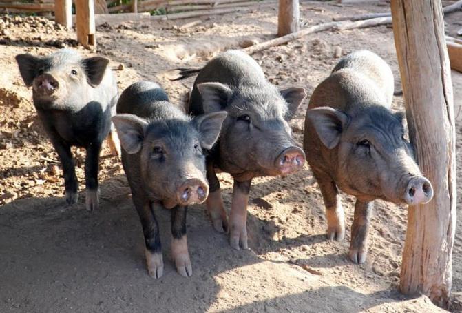 Thiaroye-Sur-Mer: Déguerpis, les éleveurs de porcs crachent leur part de vérité