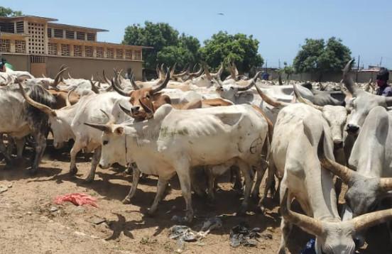 Tamkharit 2020 - Les 1600 bœufs offerts par Macky Sall sont...